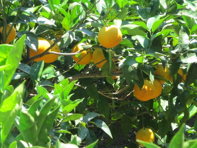 Luscious lemons!